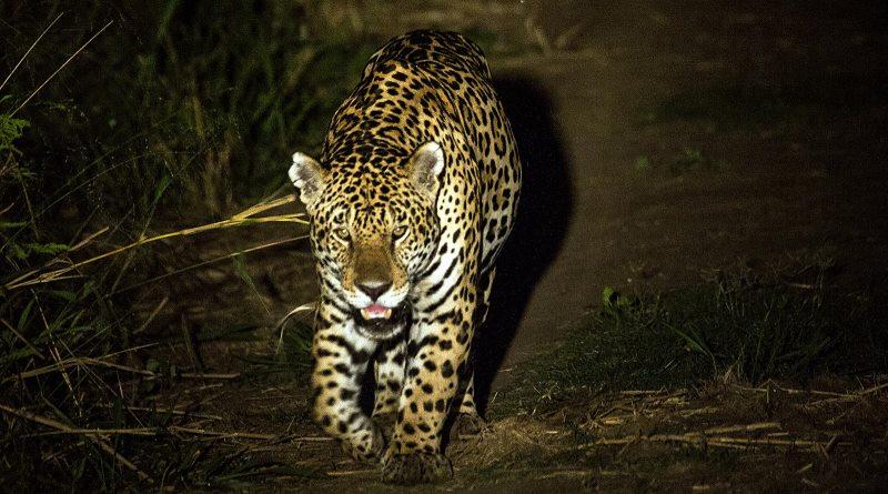 o-rabo-da-onca'-daniel_de_granville_pin_panthera_or_sf_pantanal_ms_20080813_191_orig