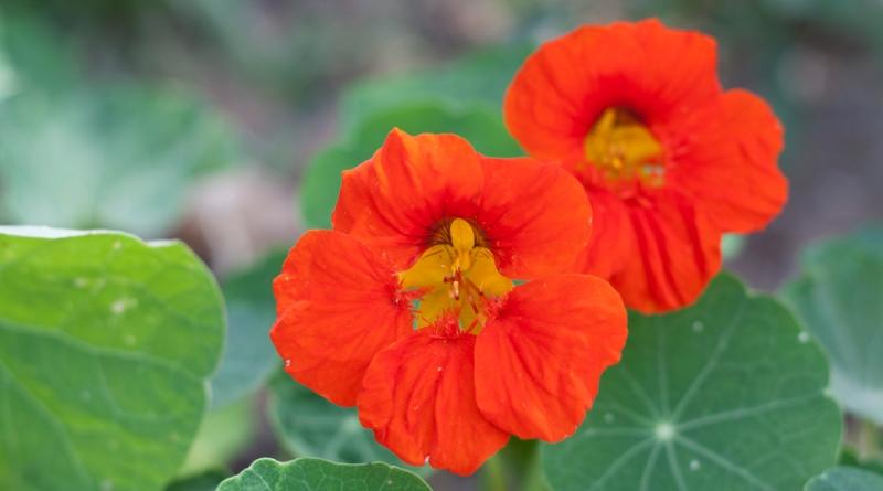 quatro-flores-infaliveis-celebrar-chegada-primavera-capuchinho-800