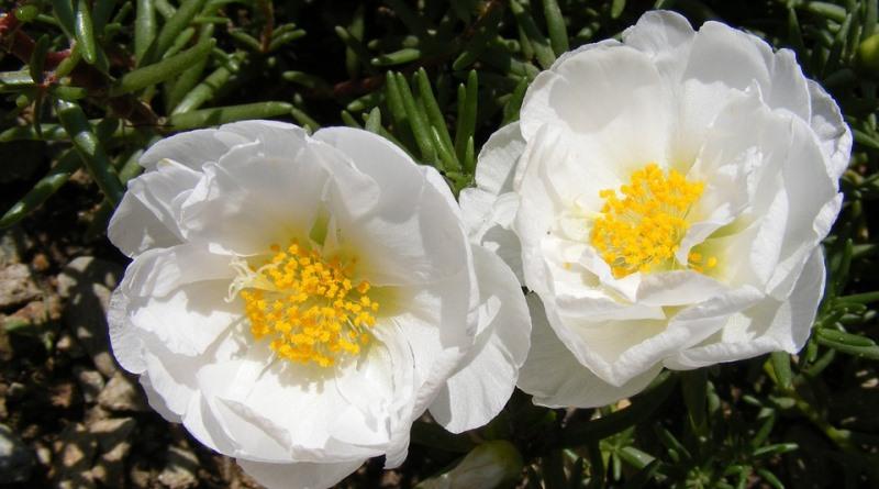 quatro-flores-infaliveis-celebrar-chegada-primavera-onze-horas-800