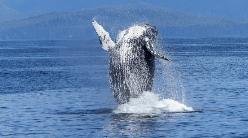 Depois de quase extintas, baleias jubarte atingem número recorde de indivíduos no Brasil e Atlântico Sul