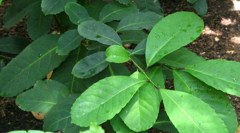 ilex_paraguariensis_ccusbotanicgarden1