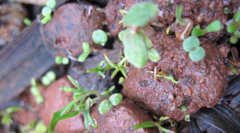 sementes germinando