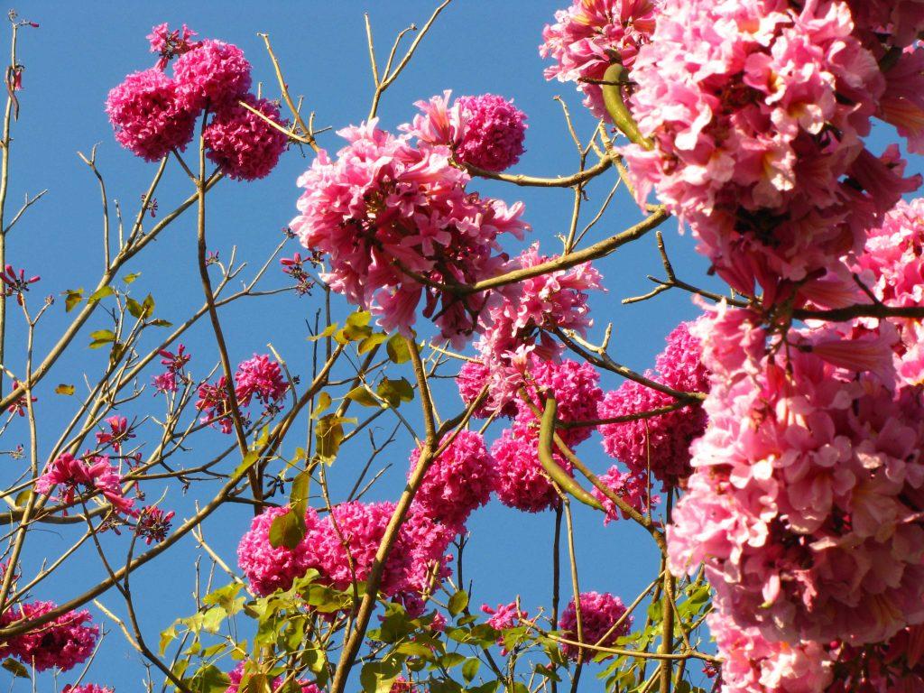flores-iperosa