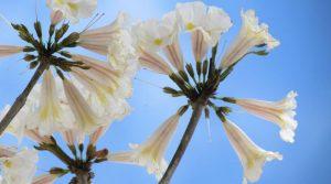 ipes-flores-cores