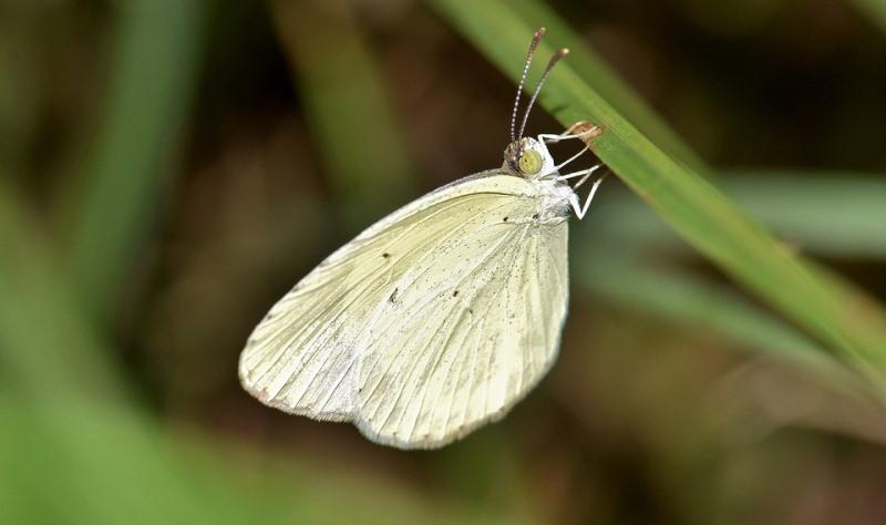 borboleta da lagarta da couve