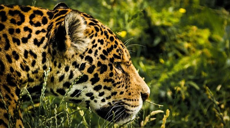 onca-pintada-jaguar-pode-desaparecer-da-mata-atlantica-pixabay-cmart29