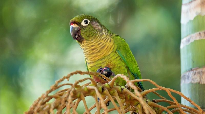 Sementes de araucária bicadas por papagaios germinam melhor