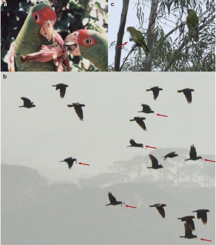 sementes-araucaria-bicadas-papagaios-germinam-melhor-3-conexao-planeta