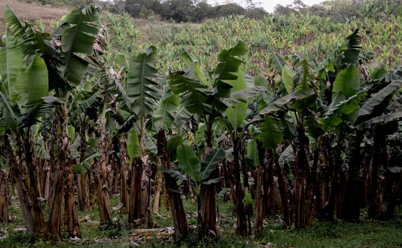 bananal-parelheiros