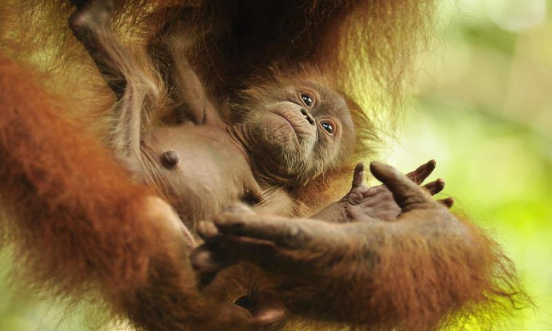 Nascimento de filhote orangotango é símbolo de esperança em Sumatra