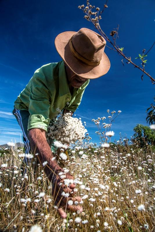 sempre-vivas-flores-do-sertao-homem-colhendo-foto-andre-dib-conexao-planeta