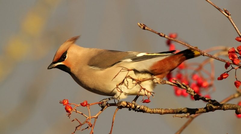 Mais de 500 mil britânicos participam do maior evento de observação de aves do mundo