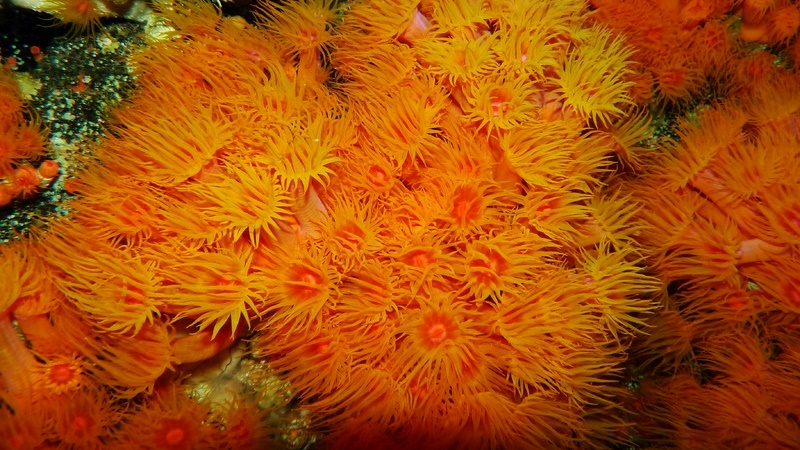 Expedição retira milhares de colônias de corais invasores do arquipélago de Alcatrazes