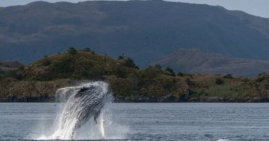 salto de uma baleia jubarte