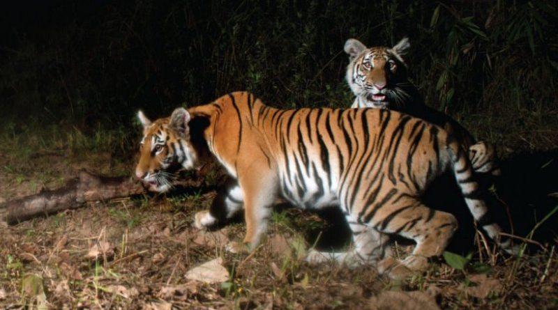 tigres tailândia