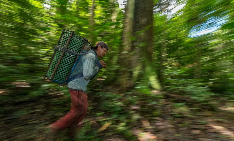 coleta da castanha-do-brasil
