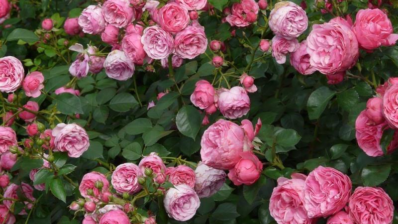 roseria floribunda