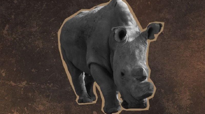 Último rinoceronte branco do planeta busca parceira no Tinder para salvar sua espécie