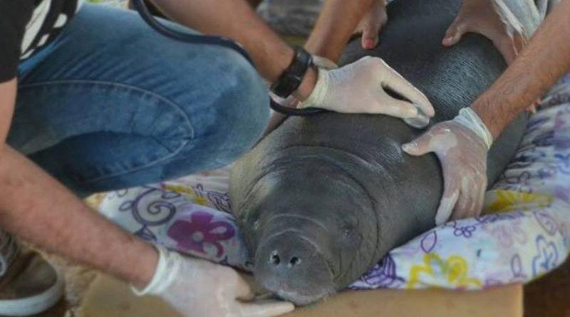 Filhote de peixe-boi marinho encalhado é salvo graças a grande mobilização no Piauí