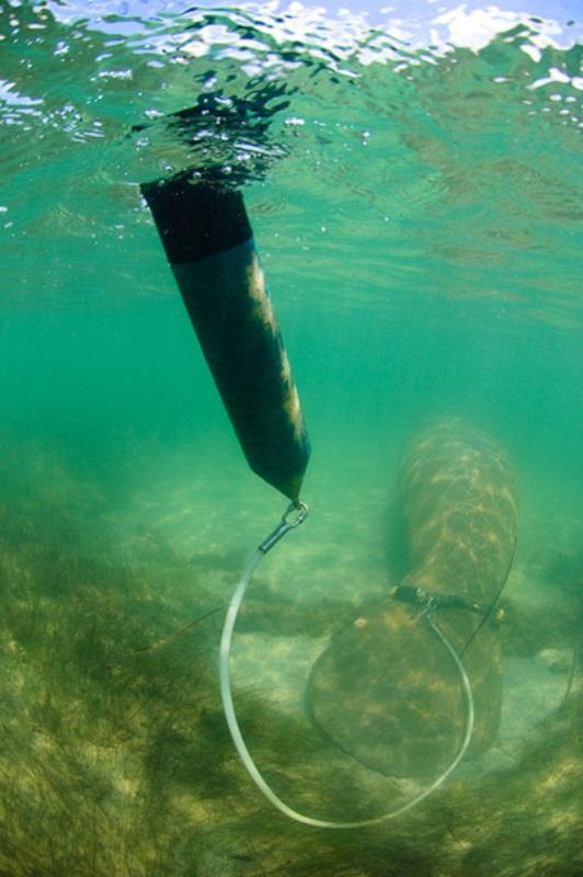 Peixe-boi-marinho é monitorado com tecnologia brasileira inédita