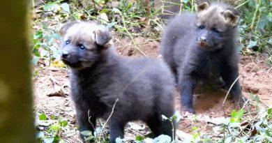 Depois de 12 anos, filhotes de lobo-guará nascem no zoo de Bauru