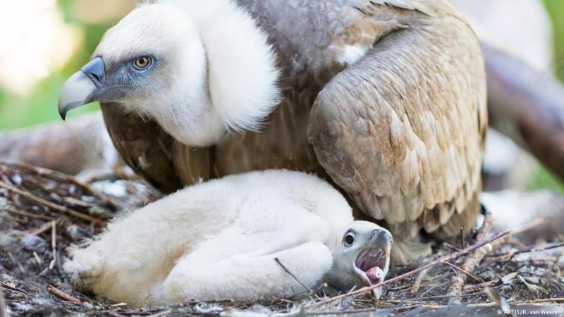 Casal gay de aves choca ovo e cria filhote em Amsterdam