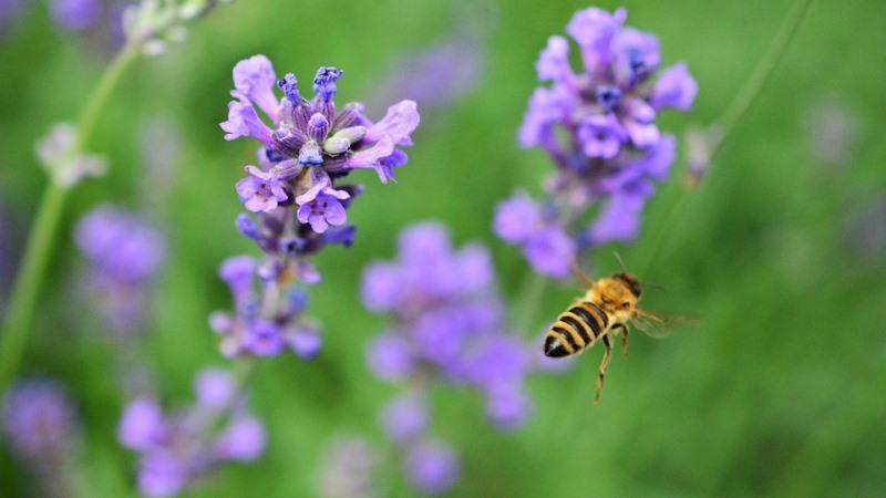 abelhas