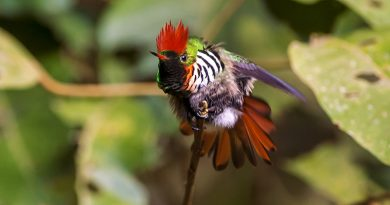 beija-flor topetinho-vermelho