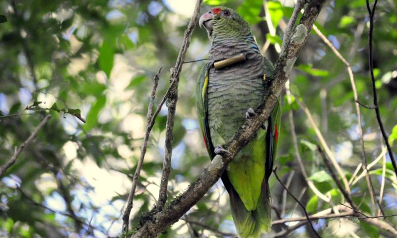 filhote de papagaio-do-peito-roxo