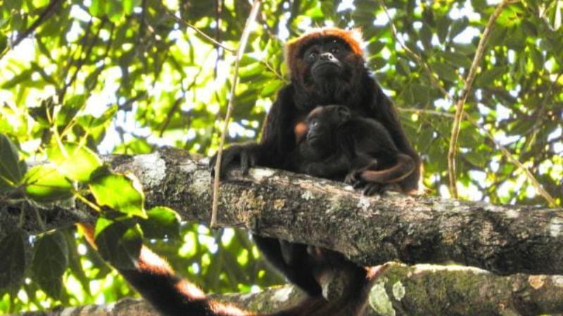 Nasce primeiro filhote de bugio na Floresta Nacional da Tijuca, após reintrodução da espécie