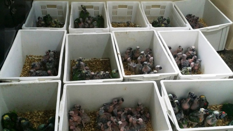 Mais de 100 filhotes de papagaios-verdadeiros são resgatados do tráfico em apenas uma semana no Mato Grosso do Sul