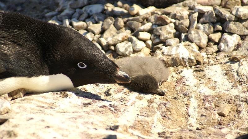 40 mil filhotes de pinguins morrem de fome na Antártica
