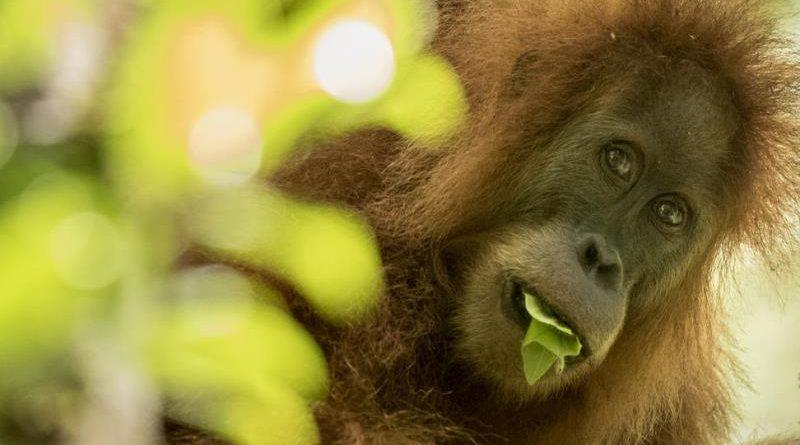 Descoberta nova espécie de orangotango, já ameaçada de extinção