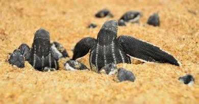É época de desova das tartarugas marinhas: ajude a protegê-las!