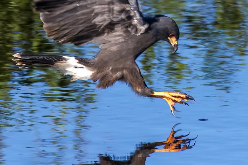 predador de olhos vermelhos; gavião-caramujeiro