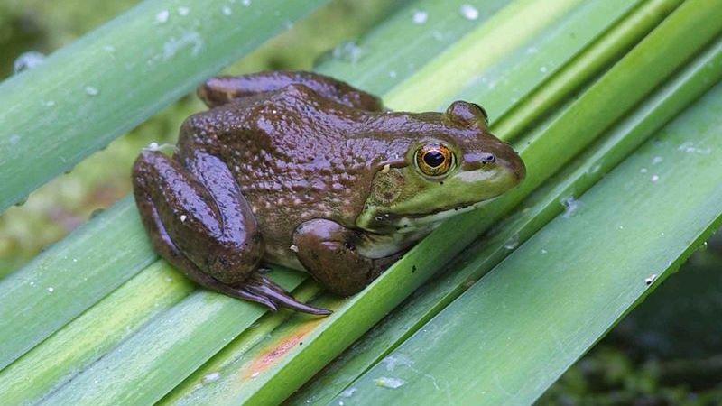 Seis espécies de anfíbios invasores são identificadas no Brasil