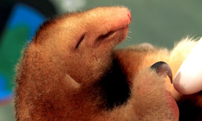 Tamanduaí: pesquisadores brasileiros são os únicos a estudar o menor e mais raro tamanduá
