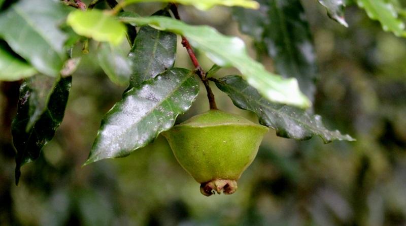 Voc conhece e planta rvores frut feras nativas for Plantas de invierno para interior