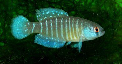 Descoberta nova espécie de peixe nos pampas gaúchos
