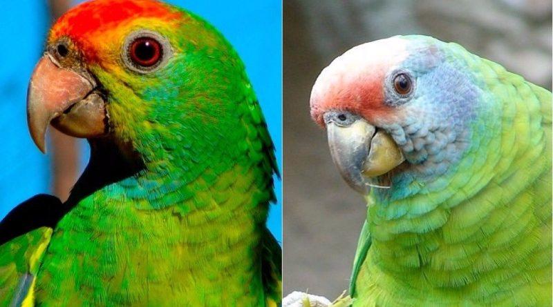 Boas notícias para duas espécies de aves brasileiras na nova lista vermelha da IUCN