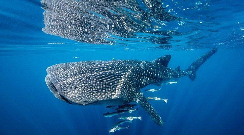 Ingestão de plástico está intoxicando as maiores criaturas dos oceanos