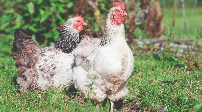 caldo de galinha