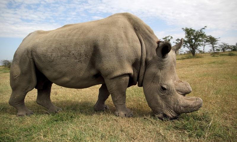 Morre o último macho de rinoceronte branco do norte do mundo