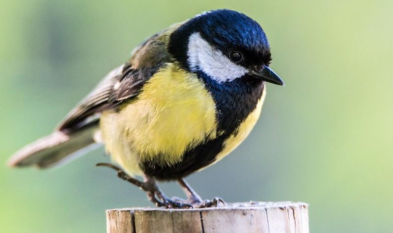 Uma em cada oito aves do planeta estão em risco de extinção