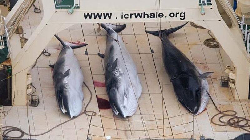 """Japoneses matam mais de 300 baleias em alegadas """"pesquisas científicas"""""""