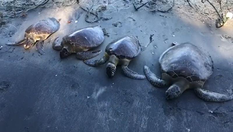 Tartarugas morrem presas em rede fantasma no litoral de São Paulo