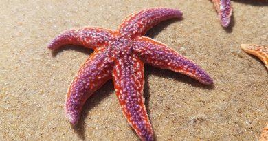 Depois de mortandade em massa, estrela-do-mar tem evolução surpreendente em luta pela sobrevivência