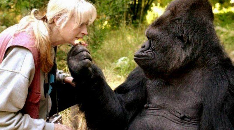 Koko, a gorila treinada na linguagem de sinais - e exemplo de empatia -, morre na Califórnia