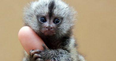 Menor macaco do mundo, que vive na Amazônia, é dividido em duas espécies e não uma