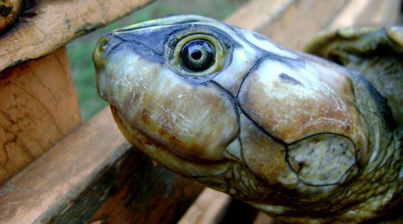 Na Amazônia, em julho, milhares de tartarugas transformam praias de água doce em berçários